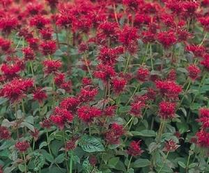 Rhizomatous, bee balm provides soil stabilization and other benefits to wildlife.