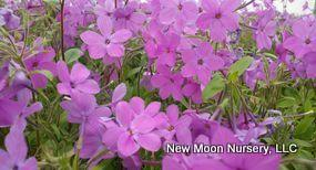 An excellent and fragrant groundcover, creeping phlox provides soil stabilization.