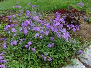 A fragrant groundcover, creeping phlox provides soil stabilization.