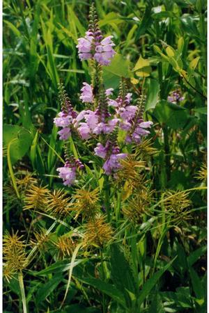 Obedient plant spreads by rhizomes and forms colonies, an attractive soil stabilizer. Jennifer Anderson @ USDA-NRCS PLANTS Database
