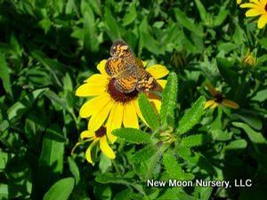 Drought tolerant, sweet black-eyed Susan is naturalizing and attracts pollinators.