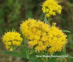 Typical inventory plug Wetland species of goldenrod.