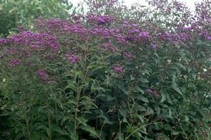 Upland perennial, this ironweed attracts many pollinators.