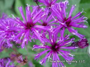 New York ironweed is for wet areas, naturally found in wet meadows and fields. Attracts pollinators.