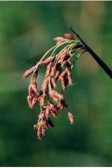 Scirpus validus (tabernaemontani) Soft stemmed bulrush from New Moon