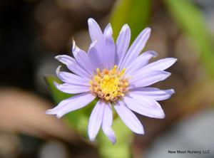 Smooth blue aster is a good perennial for meadows, rain gardens, attracting pollinators, or use as a landscape ornamental. Attracts pollinators.