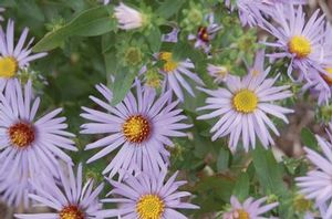 Good for meadows, bird and butterflies, and use as a landscape ornamental. Aromatic aster is drought tolerant.