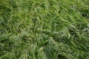 Carex Socialis Social Sedge Low Woodland Sedge From New Moon