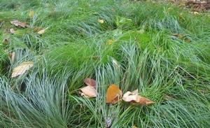 Carex Leavenworthii Lawn Sedge From New Moon Nurseries