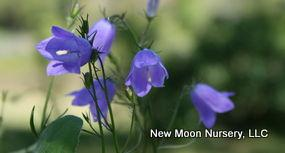 Harebell is a drought tolerant perennial.
