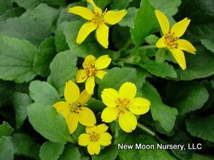 Golden star is a good woodland groundcover.
