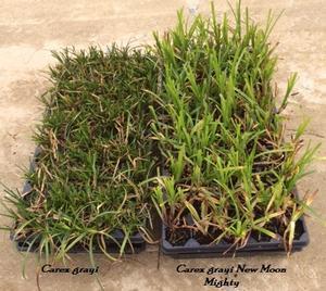 Carex Grayi New Moon Mighty Grays Sedge From Nurseries