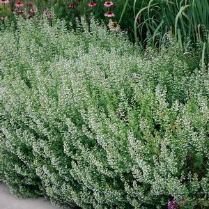 Calamintha Nepeta Ssp Nepeta Calamint From New Moon Nurseries