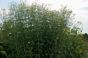 Tall coreopsis is good for use in conservation and rain gardens. Attracts pollinators.