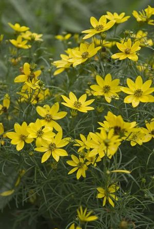 This naturalizing perennial is drought tolerant and a good choice for restoration or conservation projects.
