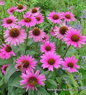 Echinacea purpurea, purple coneflower, is an adaptable and drought tolerant perennial. Benefits wildlife.