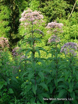 Joe pye weed is loved by butterflies and other pollinators. Good choice for conservation and restoration projects.