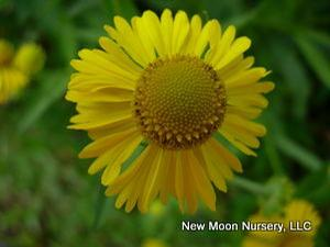 For wet spaces, common sneezeweed is found along stream banks, in wet meadows and other wetland areas.