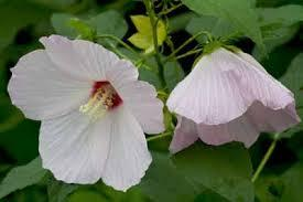 Hibiscus Moscheutos Swamp Mallow From New Moon Nurseries