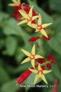 Spigelia marilandica Indian pink (No Advance Order) from