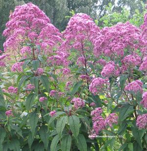 Eupatorium Purpureum Sweet Joe Pye Weed From New Moon Nurseries