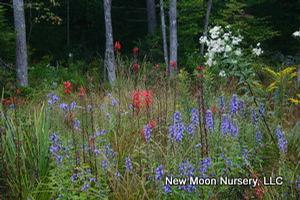 Lobelia Siphilitica Great Blue Lobelia From New Moon Nurseries