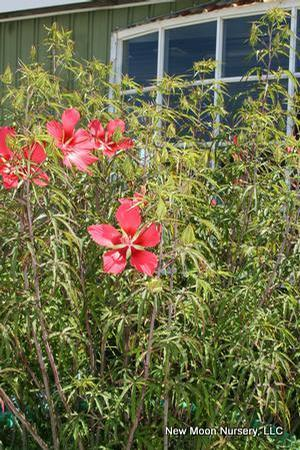 Hibiscus Coccineus Scarlet Rose Mallow From New Moon Nurseries