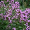 Wild sweet William, meadow phlox