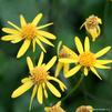 Smalls ragwort