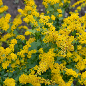 Creeping goldenrod (No Advance Orders)
