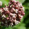 Common milkweed (No Advance Orders)