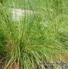 Prairie dropseed