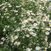 Thousand-flowered aster