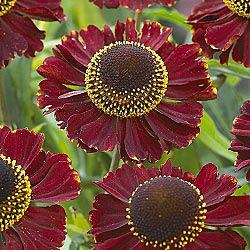 Helena Red Shades common sneezeweed