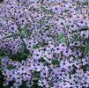 Twilight big leaf aster