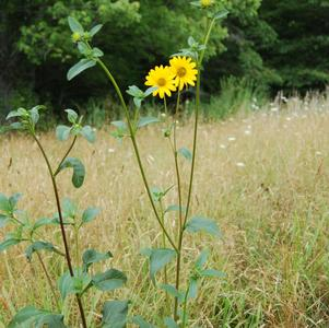 Helianthus occidentalis ssp dowelianus