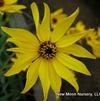 Swamp sunflower, narrow leaved sunflower